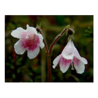 Twin Flower Blossoms, Unalaska Island Postcard