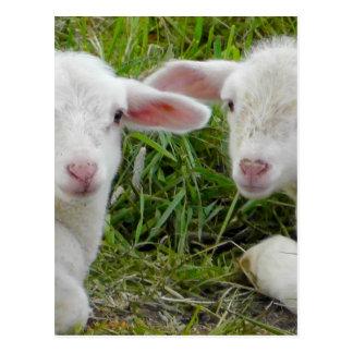 Twin Lamb Baby Animal Thinking Of You Postcard