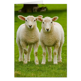 twin lambs card