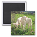 Twin Lambs Grazing 2 Inch Square Magnet