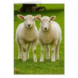 twin lambs greeting card