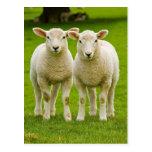 twin lambs post card