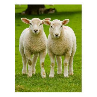 twin lambs postcard