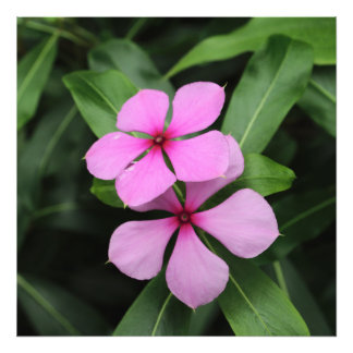 Twin Madagascar Periwinkle Flowers Photo Print