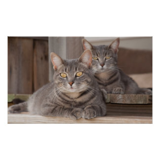 Twin Tabbies Chillin' Poster