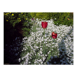 Twin Tulips in the Morning Sun Poster