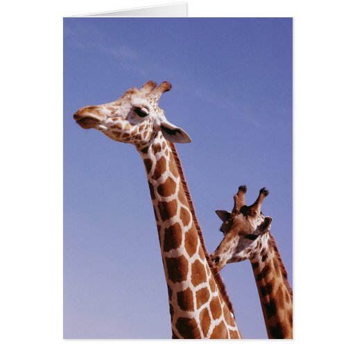 Two Affectionate Giraffes Greeting Cards