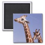 Two Affectionate Giraffes Magnet