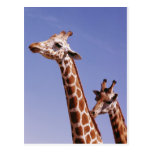 Two Affectionate Giraffes Post Cards