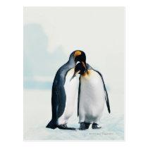 Two affectionate penguins postcard