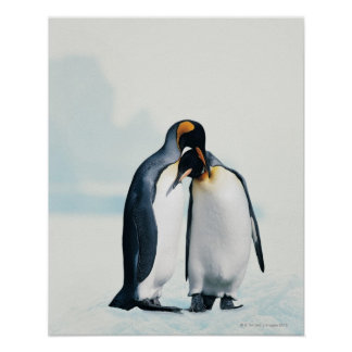 Two affectionate penguins poster