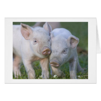Two Affectionate White  Piglets Card