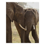 Two African Bush Elephants (Loxodonta Africana) Posters