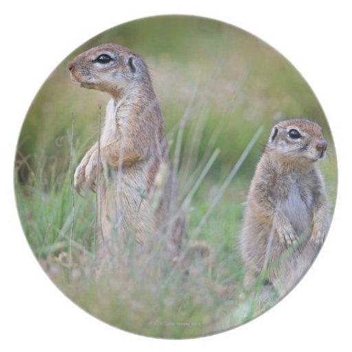 Two alert Ground Squirrels, Jamestown District, Dinner Plate