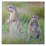 Two alert Ground Squirrels, Jamestown District, Tiles