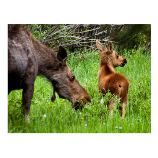 Two Alert Moose Mother And Baby Postcard