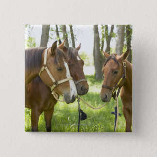 Two American Quarter horses standing in shade Button