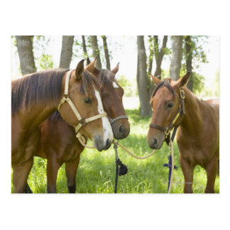 Two American Quarter horses standing in shade Postcard