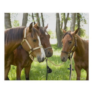 Two American Quarter horses standing in shade Print