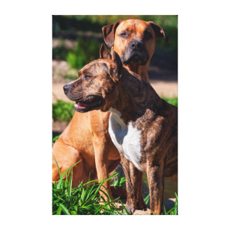 Two American Staffordshire Canvas Print