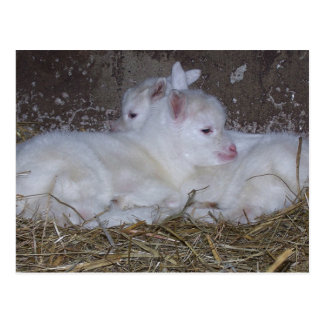 Two Baby Goats in Straw Postcard
