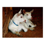 Two Baby Goats Post Card