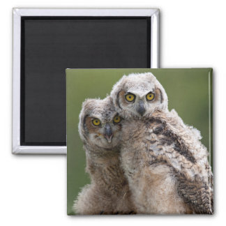 Two Baby Great Horned Owls Perching On A Branch 2 Inch Square Magnet