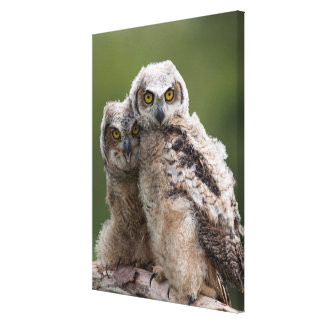 Two Baby Great Horned Owls Perching On A Branch Canvas Print