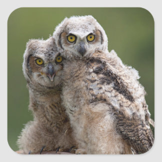 Two Baby Great Horned Owls Perching On A Branch Square Sticker