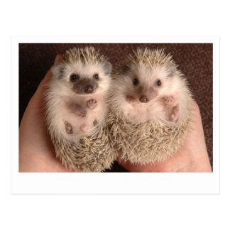 Two Baby Hedgehogs Postcard