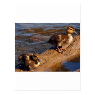 Two Baby Mallards Hanging out on a Log Postcard