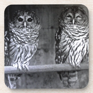 Two Barred Owls Square Coasters