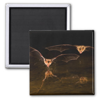 Two bats flying over water, Arizona Magnet