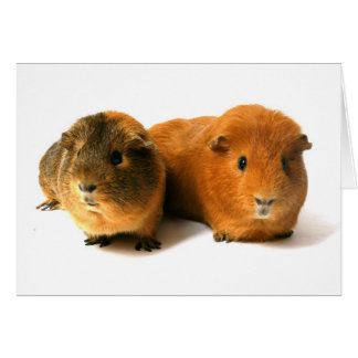 two beautiful guinea pig card