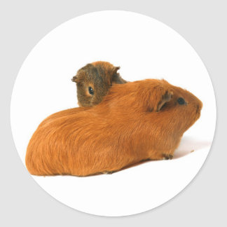 two beautiful guinea pig classic round sticker