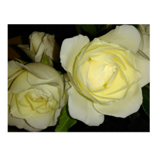 Two Beautiful Yellow Roses Postcard