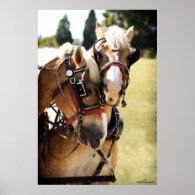 Two Belgian Draft Horses Poster