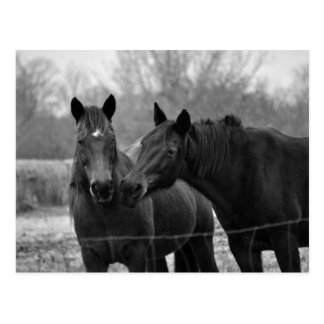 Two Best Friends -Horse Photograph Post Card