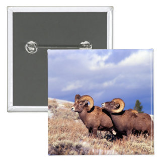 Two bighorn rams Ovis canadensis on grassy Pinback Button
