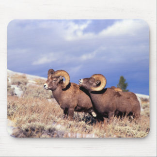 Two bighorn rams Ovis canadensis) on grassy Mousepad