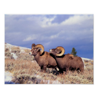 Two bighorn rams Ovis canadensis) on grassy Poster