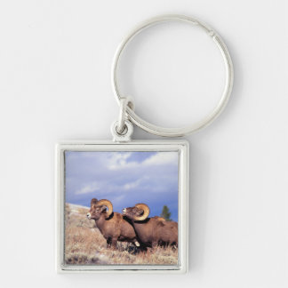 Two bighorn rams Ovis canadensis) on grassy Silver-Colored Square Keychain