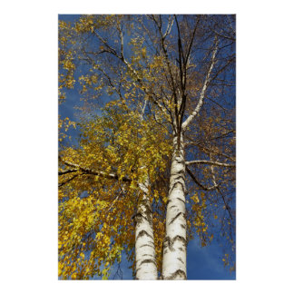 two birch trees poster