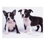 Two black and white puppies post card