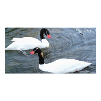 Two Black-Necked Swans Swim In Opposite Direction Card