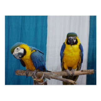 Two Blue and Gold Macaws Postcard