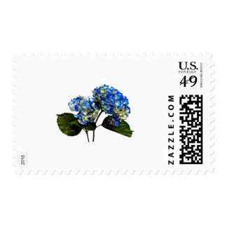 Two Blue Hydrangea With Leaves Postage