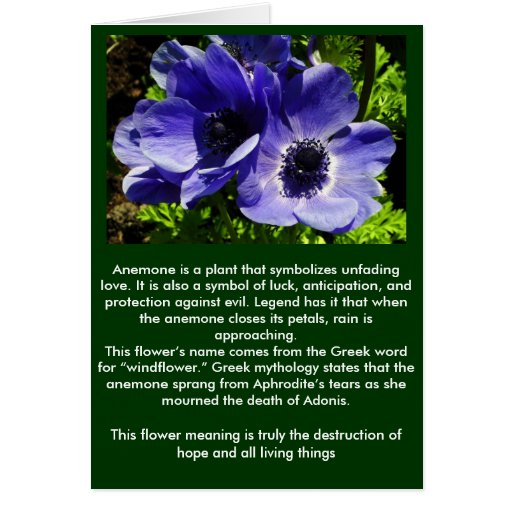 Two Blue Mauve Anemone - Close Up Windflowers Cards