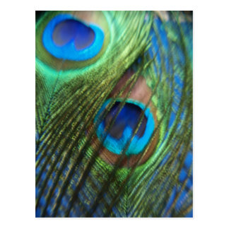 Two Blue Peacock Feathers Postcard