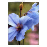 Two blue poppies greeting cards